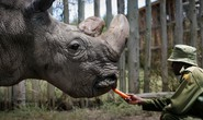 Hy vọng cứu tê giác trắng phương Bắc