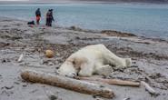 Tấn công nhân viên du lịch, gấu Bắc Cực bị bắn chết