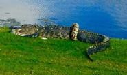 Cận cảnh cá sấu và trăn quấn quýt trên sân golf