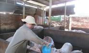 Giá thịt heo tăng cao kỷ lục, gấp đôi thời kỳ giải cứu