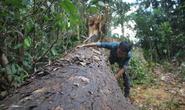 Bình Định: Yêu cầu kỷ luật cán bộ để xảy ra phá rừng cổ thụ