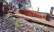Thảm sát rừng tự nhiên để... trồng keo