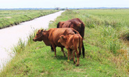 Trâu bò gặm cỏ phải đóng phí: Sao chuyện gì cán bộ xã cũng không biết?