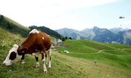 Thụy Sĩ điều trực thăng quân sự chuyển nước cho bò uống