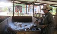 Giám sát chặt cửa khẩu, đường mòn để ngăn chặn dịch tả lợn châu Phi