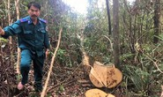Làm rõ việc khu rừng phòng hộ bị lâm tặc đốn hạ