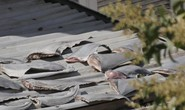 Báo cáo vụ phơi vây cá mập ở Đại sứ quán Việt Nam tại Chile trước 25-1