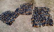 Úc: Nắng nóng nung chín não hàng trăm cáo bay, rụng la liệt