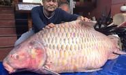 Đại gia săn cá hô từ Campuchia, Lào, Thái...