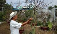Bình Thuận: Khóc ròng vì mai nở sớm