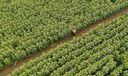 Mãn nhãn ngắm cánh đồng triệu bông hoa hướng dương bung nở ở Nghệ An