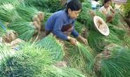 Dân khóc thét vì hành lá ở Phú Quốc 150.000 đồng/kg