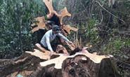 Trộm gỗ rừng tự nhiên, xóa trắng rừng phòng hộ
