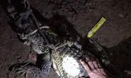 Cá sấu từ dưới sông Đồng Nai mò vào nhà dân