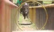 Kỳ thú đua heo cầu may ở Yang Bay