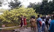 Hàng ngàn người đến thưởng lãm cây mai khủng ở Đồng Nai