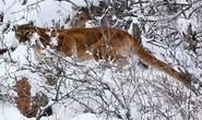 Bị tấn công bất ngờ, người chạy bộ bóp chết sư tử núi bằng tay không