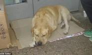 Chó trung thành chờ chủ đã chết hơn 1 tuần trước bệnh viện