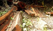Thêm một khu rừng gỗ quý bị lâm tặc đốn hạ ở Quảng Bình