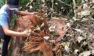 Cách chức, kỷ luật hàng loạt cán bộ vì để lâm tặc phá rừng gỗ quý
