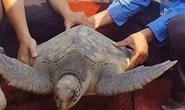 Rùa biển quý hiếm nặng 25 kg mắc lưới ngư dân