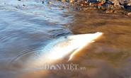 Ngợp với cảnh mỏi tay vớt cá dạt vào bờ ở Cà Mau, Bạc Liêu