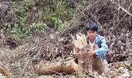 Gần 2 hecta rừng bị phá, chỉ cách kiểm lâm 500m nhưng không biết?
