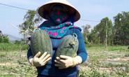Sau giải cứu, nông dân Quảng Ngãi lãi khủng với dưa hấu