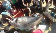 Khánh Hòa: Bắt cá ngừ đại dương khủng nặng 386 kg
