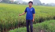 Kẻ xấu cắm thanh sắt 1 m đầy ruộng để phá máy gặt lúa