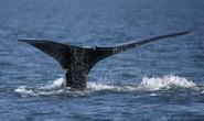 Nước biển nóng lên, lượng cá voi đầu bò giảm sút