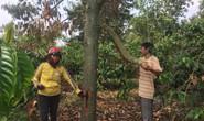 Chết lặng trước vườn sầu riêng tiền tỉ bị đầu độc