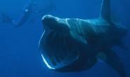 Kinh ngạc với cá mập to như máy bay phản lực xuất hiện ở Mỹ