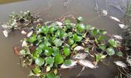 Cá chết nổi đầy sông Bàn Thạch