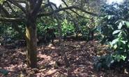 Xót xa nhìn vườn sầu riêng hàng trăm triệu đồng rụng trái, nghi bị đầu độc