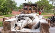 Dân phản ứng vì heo bị dịch tả heo châu Phi từ nơi khác đưa về tiêu hủy