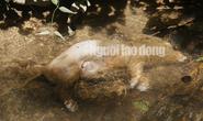 Quảng Nam: Giữa mùa dịch, xác heo thối vứt đầy kênh