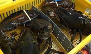 Thực hư tôm hùm Alaska có giá chỉ 170.000 đồng/kg