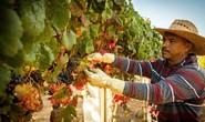 Pháp: Giới siêu giàu Trung Quốc tiếp tục đổ xô mua vườn nho
