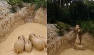 Giải cứu bầy voi bị kẹt trong mỏ vàng ở Malaysia