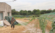 Nước ngầm nhiễm mặn, vựa rau sạch lớn Đà Nẵng chết khô