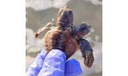 Phát hiện rùa hai đầu hiếm thấy ở Mỹ