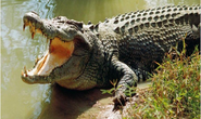 Người dân thấy cá sấu lớn trên sông, chính quyền phát cảnh báo tránh xa nơi nguy hiểm