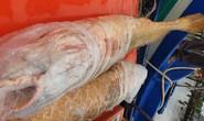 Ngư phủ tìm thương lái bán cặp cá sủ vàng hiếm gặp