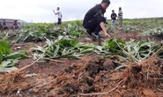 Cán bộ xã nhổ hàng ngàn cây keo: Người dân yêu cầu phải trồng lại