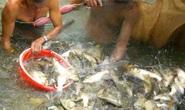 Cá nhảy đầy mặt sông ở Cồn Sơn ngày giáp Tết
