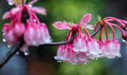 Chiêm ngưỡng hoa đào chuông độc đáo trên đỉnh Bà Nà