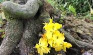 Lạ mắt vườn mai khủng có hoa vàng rực trổ từ ngọn tới rễ
