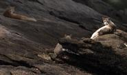 Covid-19 biến đảo mèo của Brazil thành đảo ăn thịt