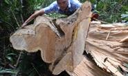 Còn phá rừng, còn thảm họa thiên tai: Rừng tự nhiên không ngừng chảy máu
